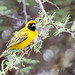 "Southern Masked Weaver in Namibia • <a style=""font-size:0.8em;"" href=""https://www.flickr.com/photos/21540187@N07/8292855956/"" target=""_blank"">View on Flickr</a>"