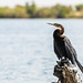 "African Darter in Chobe National Park, Botswana • <a style=""font-size:0.8em;"" href=""https://www.flickr.com/photos/21540187@N07/8293299447/"" target=""_blank"">View on Flickr</a>"
