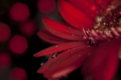 Red Light (51/52) (linlaw39) Tags: winter light red stilllife blur flower macro reflection wet closeup sparkles blackbackground reflections scotland drops aberdeenshire bokeh sparkle refraction daisy manual waterdrops sparkling 2012 week51 onblack fraserburgh lindal darkbackground 50mmlens ef50mmf25compactmacro project52 canoneos500d 21122012 52project december2012 weekofdecember16 ef50mmf25compactmacrolens insidework ledmacrolight 522012 52weeksthe2012edition
