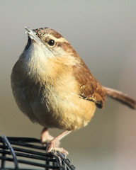 Wren 2 (Cheryl Turlin) Tags: bird nature birds backyard birdfeeder nativewildlife freedomtosoarlevel1birdsonly freedomtosoarlevel3birdsonly freedomtosoarlevel2birdsonly