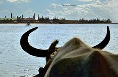 Water buffalo dragging a car (Electra K. Vasileiadou) Tags: travel sea colour tourism nature water japan island nikon asia seasia pacific sightseeing  okinawa  waterbuffalo        yubujima    buffalocar greekphotographers   d3100 gettyimagesjapan12q4   japan nikon