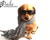 dog and scarf (Biancalana danilo) Tags: portrait dog pet white playing black cold cute nature sunglasses animal scarf puppy studio fun mammal funny view background side adorable indoor canine dachshund domestic doggy breed isolated pedigree purebred trained obedient vitality pedigreed