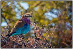 Color - Etosha National Park (Aaron Miller - Postcard Intellect) Tags: africa color nature rainbow safari namibia gamereserve lilacbreastedroller beautifulbird etoshanationalpark oshikoto