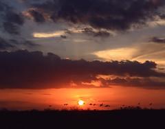 Sundown ~ Quarta Sunset 148 (PelicanPete) Tags: sunset color dark landscape inflight wings unitedstates sundown florida wildlife horizon flock brush ibis national everglades rays sunsetlight cloudscape floridaeverglades refuge loxahatchee flyingsouth palmbeachcountyflorida
