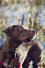 Kipper! (where the wilder things are) Tags: travel blue winter red portrait people usa dog pet baby brown white ny macro cute green art fall dogs nature animal animals digital canon puppy outdoors photography amazing interesting mutt mix nikon funny pretty adorable vizsla pitbull adopted
