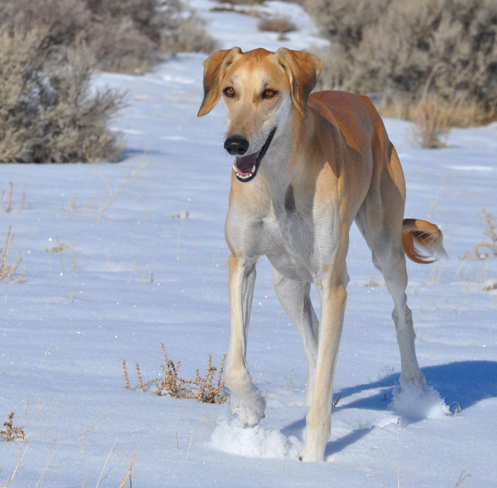The World's Best Photos of desert and saluki - Flickr Hive ...