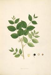 Anglų lietuvių žodynas. Žodis loganiaceae reiškia <li>loganiaceae</li> lietuviškai.