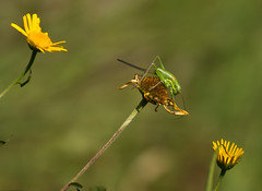 Grasshopper, Lake Como. (AlbOst) Tags: flowers italy insects grasshopper