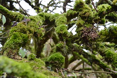 Green tree moss growing at Rathbaun Farm in Ardrahan, County Galway, Ireland (RYANISLAND) Tags: ireland irish food nature beauty rural outdoors countryside europe european farm country farming rustic farmland farms produce organic naturalbeauty countygalway farmfood ardrahan foodproduce countrysideofireland