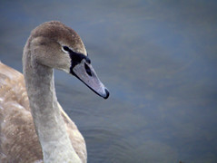 Cygnet at Thrupp Lake (Maggie @ Abingdon) Tags: winter bird swan cygnet waterfowl radleylakes thrupplake earthtrust
