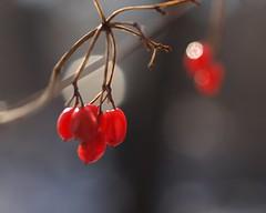 Winter Berries (Boye not Bowyer) Tags: 50mm berries olympus e510 zuiko50mmmacro micro43