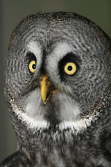 Great Grey Owl (Andrew Campbell Photography) Tags: photographic greatgreyowl society seaford andrewcampbell owlsoutandabout