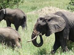 (romanboed) Tags: africa travel tanzania wildlife safari elephants tarangire
