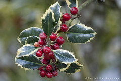 "Ilex aquifolium ""Argentea Marginata"" (silver-margined holly) (PriscillaBurcher) Tags: holly acebo ilexaquifolium englishholly europeanholly christmasholly dsc0141 floraandfaunaoftheworld silvermarginedholly"