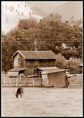 Pasture 1 (Rubio-Martinez) Tags: germany bavaria farm pasture fujica fujicast701 st701 fujinon50mmf14