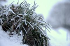 Frozen (Thoran Pictures (Thx for more then 3.5 million vie) Tags: snow art ice dutch grass photography groen fotografie pentax bokeh sneeuw nederland gras wit k5 grijs ijs rijp thoran graspol degans justpentax pentaxart f7d madebythoranpictures arnolddegans pentaxda1281650mmsdm bevrorengraspol arnoldrtdegans prefoto7daagse theuseofanyoftheimagesinthissetwithoutpriorwrittenpermissionisprohibitedwiththeexceptionofpersonalusebytheindividualsportrayedtherein