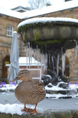 Frozen Over Poser (Si_borgs) Tags: winter brown snow cold ice frozen duck poser pond over icicles chatsworth stables