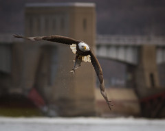 Lock and Dam 14 (TroyMarcyPhotography.com) Tags: nature river mississippi eagle wildlife bald wwwtroymarcyphotographycomwwwfacebookcomtroymarcyphotography baldeaglesonld14withcanon7dand400mmf56llens