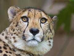 Cheetah with big round head (Tambako the Jaguar) Tags: wild cute male beautiful cat zoo switzerland big nikon pretty head luzern spots cheetah lucerne rothenburg d4 toniszoo portraitfaceround