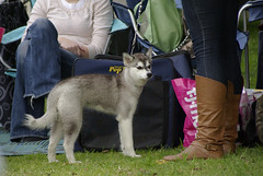 Duchess (Alexandra Kimbrough) Tags: show dog toy miniature husky pentax huskies event kai klee alaskan ukc conformation akk