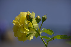 Yellow Rose & Buds (swong95765) Tags: plant flower rose buds yellow bokeh sky beauty pretty nature gorgeous fragrant bush