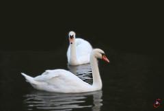 Schwne an der Nidda (Real_Aragorn) Tags: swan schwan schwne nidda