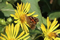 Distelfalter mal auf Gelb... (julia_HalleFotoFan) Tags: insekten distelfalter vanessacardui paintedlady schmetterling edelfalter durchwachsenesilphie silphiumperfoliatum
