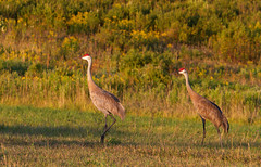 Big Bird's cousins ((nature_photonutt) Sue) Tags: sandhillcranes ironbridgeontariocanada