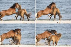 Not a Love Bite (gimmeocean) Tags: assateagueislandnationalseashore assateagueisland assateague maryland md wildhorses horses equines beach ocean sand bite chomp clash rivalry