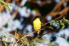 A Colorful Lesser Goldfinch (phicks172) Tags: bird finch