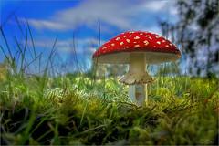 nur ein Fliegenpilz (Traumflieger_Foto) Tags: fliegenpilz harz2015 pilze2015 mushroom traumflieger sonnenlicht