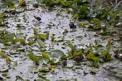 Waterhoentjes lopen op bladeren Explore 20160805 (Olga and Peter) Tags: waterhoentjes moorhens fdscn0049