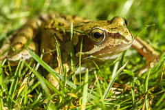 Freddy the Frog (Kev Gregory (General)) Tags: freddy frog amphibian baby pond grass mow mower close shave young relocate save safe kev gregory macro canon 100mm f28 ef