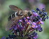 Flower Fly 2 (ssiegel16) Tags: backyardinsects flowerfly scaevasp