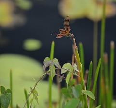 Halloween Pennant (Celithemis eponina) (ACEZandEIGHTZ) Tags: nikon d3200 everglades nationalpark florida outdoors nature dragonfly insect orange halloweenpennant celithemis eponina flying