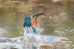 Kingfisher (Alcedo atthis) D50_3757.jpg (Mobile Lynn) Tags: people birds wild petewhieldon kingfisher nature aves bird chordata coraciiformes face faces fauna wildlife otterbourne england unitedkingdom gb coth specanimal greatphotographers coth5 ngc sunrays5 npc