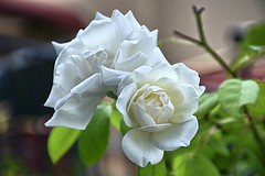 The White Rose of Athens (Tungmay is back, trying to catch up.) Tags: rose white athens greece nana mouskouri flower song