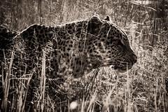 _CR14851-2.jpg (sylvainbenoist) Tags: africa afrique animaux continentsetpays félins leopard mammifères nb nature serengeti tz tza tanzania tanzanie