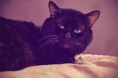 look (rgbshot72) Tags: eyes cat animals beautiful animal face black cats look zoo pets