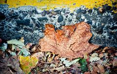 Hot Dry Fading Summmer (Orbmiser) Tags: 55200vr d90 nikon oregon portland summer curb street leaf leaves dried cracked asphalt