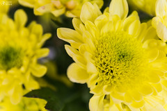 Yellow Flower Macro Dense Center (HunterBliss) Tags: alive beautiful blurry bouqet bright close colorful dense detail detailed flourescent flower flowers focus green growing hundreds leaves macro meaningful nature petals plant plants single up vase welcome yellow