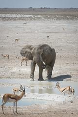 Namibia 2016 (312 of 486) (Joanne Goldby) Tags: africa africanelephant antidorcasmarsupialis august2016 elephant elephants etosha etoshanationalpark explore loxodonta namiblodgesafari namibia safari springbok antelope