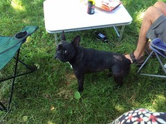 The great Jambon thief (green gennii) Tags: frenchbulldog thief ham jambon