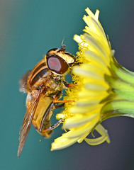 Hover Fly (SimonLH64) Tags: hoverfly fly insect macro closeup nature flowers