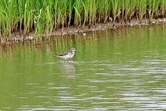 Greenshank (robin denton) Tags: tringanebularia greenshank wader bird wildlife nature yorkshirewildlifetrust wildlifetrust