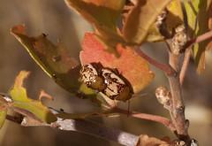 Sumac Flea beetles (Jeff Mitton) Tags: macro sumacfleabeetles skunkbrushsumac blephardiarhois earthnaturelife wondersofnature