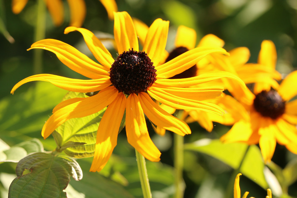 the world 39 s most recently posted photos of rudbeckie. Black Bedroom Furniture Sets. Home Design Ideas