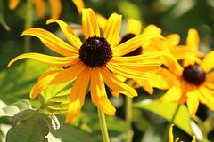 Black Eyed (gripspix (OFF)) Tags: 20160823 natur nature pflanze plant flower blume rudbeckie blackeyedsusan rudbeckiahirta