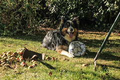 Mother's Little Helper - NOT!!!! (sharongellyroo) Tags: ki garden home appletrees glemsford suffolk bordercollie