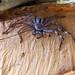hairy spider on paperbark